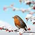 Robin And Cotoneaster With Snow by Warren Photographic