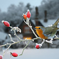 Robin And Rose Hips by Warren Photographic