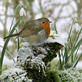 Robin And Snowdrops by Warren Photographic