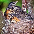 Robin Chicks by Ronald Lutz