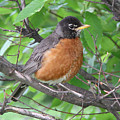 Robin by Doris Potter