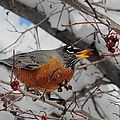 Robin Eating A Berry by Merrimon Crawford