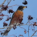 Robin Eating A Red Berry by Merrimon Crawford