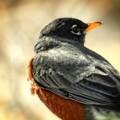 Robin by Elizabeth Mix