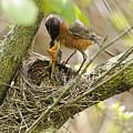 Robin Feeding Young by Timothy Flanigan