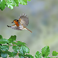 Robin Flying To Nest by Warren Photographic