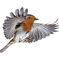 Robin Flying by Warren Photographic