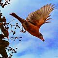 Robin Harvesting Ivy Berry by Brian Tada