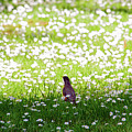 Robin In A Field Of Daisies by Tikvah's Hope