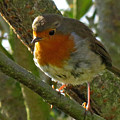 Robin In A Tree by John Topman