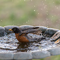 Robin In Bird Bath New Jersey  by Terry DeLuco