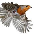 Robin In Flight by Warren Photographic