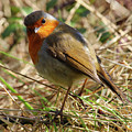 Robin In Hedgerow 3 by Eddie Barron