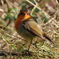 Robin In Hedgerow 2 Inch Donegal by Eddie Barron
