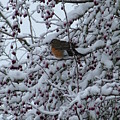 Robin In Snow by Nick Gustafson