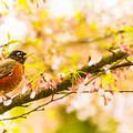 Robin In Spring Blossom Cherry Tree by Peter v Quenter