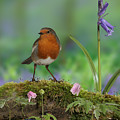 Robin In Spring Wood by Warren Photographic