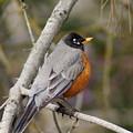 Robin In Tree 2 by Ben Upham III