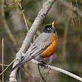 Robin In Tree by Ben Upham III