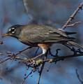 Robin Bird by Marta Robin Gaughen
