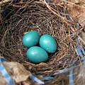 Robin Nest by Melissa Parks