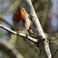 Robin On Branch Donegal by Eddie Barron