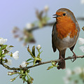 Robin On Cherry Blossom by Warren Photographic