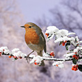 Robin On Cotoneaster With Snow by Warren Photographic