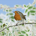 Robin On Frosty Briar by Warren Photographic