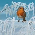 Robin On Frosty Grass by Warren Photographic