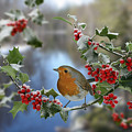 Robin On Holly Branch by Warren Photographic