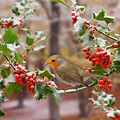 Robin On Holly Twigs by Warren Photographic