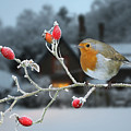 Robin On Rose Hips And Frost by Warren Photographic