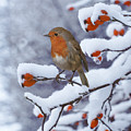 Robin On Snow-covered Rose Hips by Warren Photographic