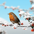 Robin On Snowy Cotoneaster by Warren Photographic