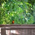 Robin On The Backyard Fence by DUG Harpster