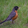 Robin On The Lawn by Ben Upham III