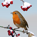 Robin On Winter Cotoneaster by Warren Photographic