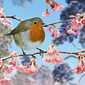 Robin On Winter Flowering Plum by Warren Photographic