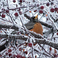 Robin Perched In Crabapple Tree by Travers Morgan