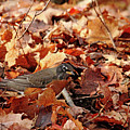Robin Playing In Fallen Leaves by Debbie Oppermann