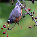 Robin Reaching For Berry by Brook Burling