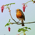 Robin Singing On Flowering Currant by Warren Photographic
