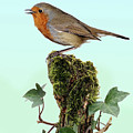 Robin Singing On Ivy-covered Stump by Warren Photographic