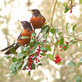 Robins In Holly by Peg Urban