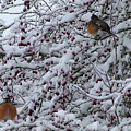 Robins In The Snow by Nick Gustafson