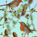 Robins On Larch by Warren Photographic