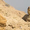 Rock Hyrax Procavia Capensis by Alon Meir