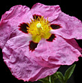 Rock Rose by Terence Davis