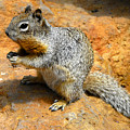 Rock Squirrel by David Lee Thompson